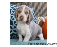 Cute beagle puppies for Christmas