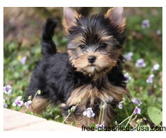 Cute Stunning tiny Yorkshire terrier puppies.