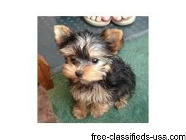 Ready Tea Cup Yorkie Puppies For Adoption Animals Arbovale