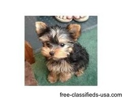 Ready tea Cup Yorkie Puppies For Adoption