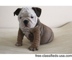 attractive English Bulldog Puppies For Sale