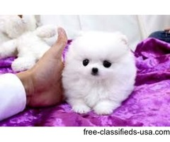 Micro Teacup Pomeranian Puppies For Adoption