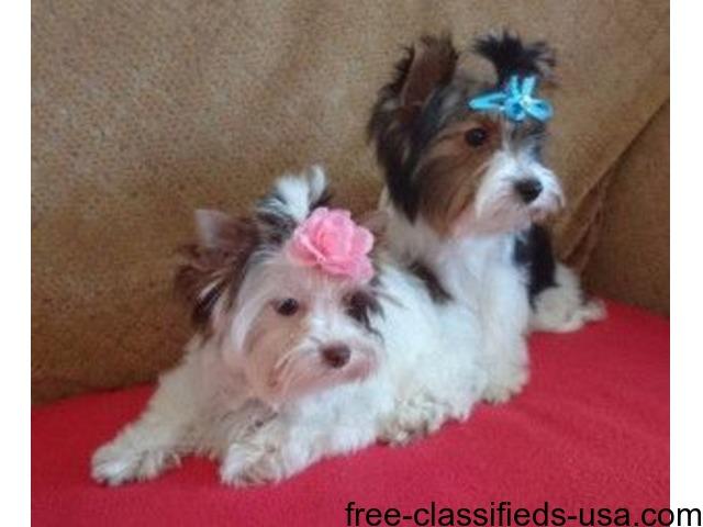 Yorkshire Terrier | free-classifieds-usa.com