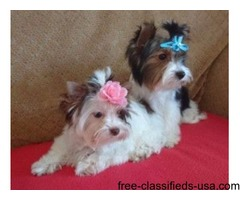 Yorkshire Terrier | free-classifieds-usa.com