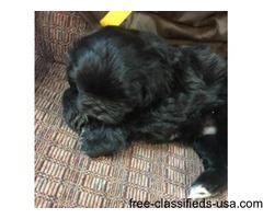addorable Shih Tzu puppies