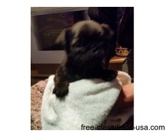 Reg Female Black Pug Puppy