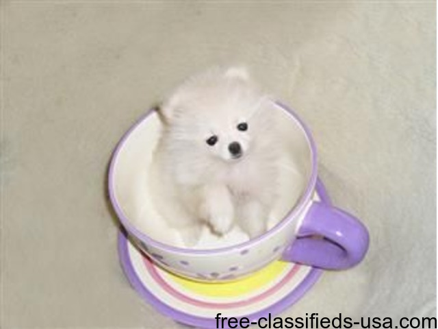Sweet Little  Pomeranian Pups Ready | free-classifieds-usa.com