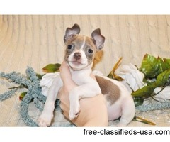 chihuahua puppies adoption for a lovely home