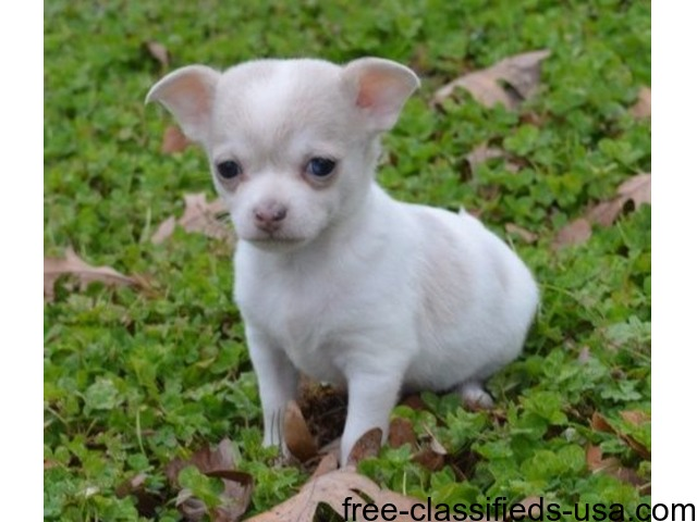 Affectionate Chihuahua Puppies Adoption For A Lovely Home Animals