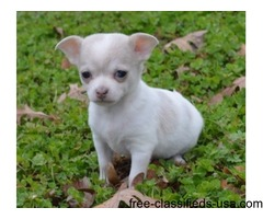 affectionate chihuahua puppies adoption for a lovely home