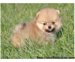 agreeable Pomeranian puppies adoption for a lovely home