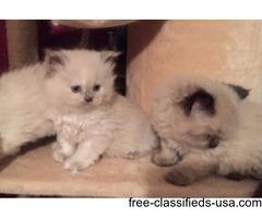Baby himalayan kittens