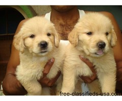 Akc Golden Retriever Puppies  available for adoption .