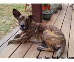 Lost dog. Brindle-colored shepherd mix