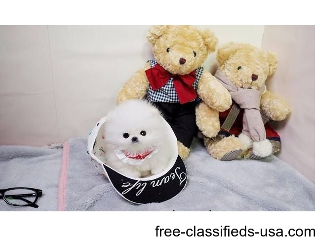 Micro Tea Cup Pomeranian Puppies Now Available   free-classifieds-usa.com