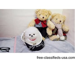 Micro Tea Cup Pomeranian Puppies Now Available | free-classifieds-usa.com