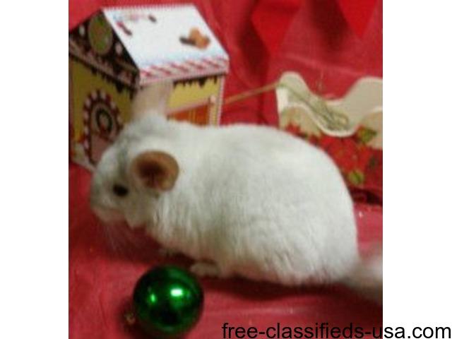 Chinchilla For Sale >> Chinchilla Babies For Sale Animals Philadelphia Pennsylvania