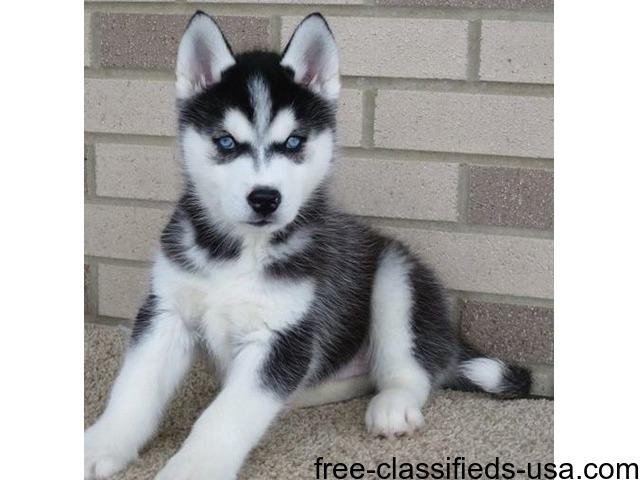 Straight Up Blue Eyes Siberian Husky Puppies Animals Agoura