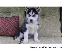 Two Friendly Siberian Husky Puppies available