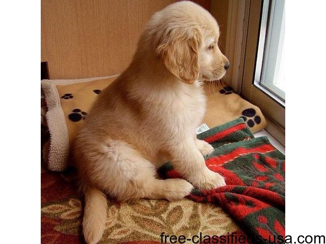 Golden Retriever Puppies For Sale Animals San Jose California