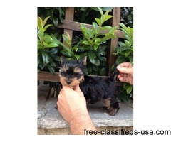 Well trained tiny teacup Yorkie puppies.