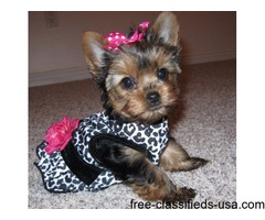 Well trained tiny teacup Yorkie puppies