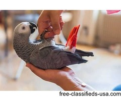 Lovely pair African grey parrots for adoption