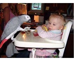 Approved Super Tame Healthy Hand Reared Dna African Grey Parrots Ready Now