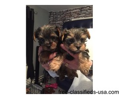 2 adorable yorkie puppies looking for a good home