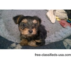 Two Friendly tiny teacup Yorkie Puppies available