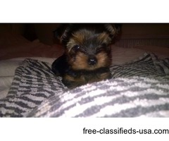 Two Friendly tiny teacup Yorkie Puppies available .