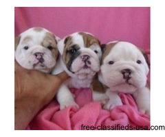 Male and Female English Bulldogs for Re-homing