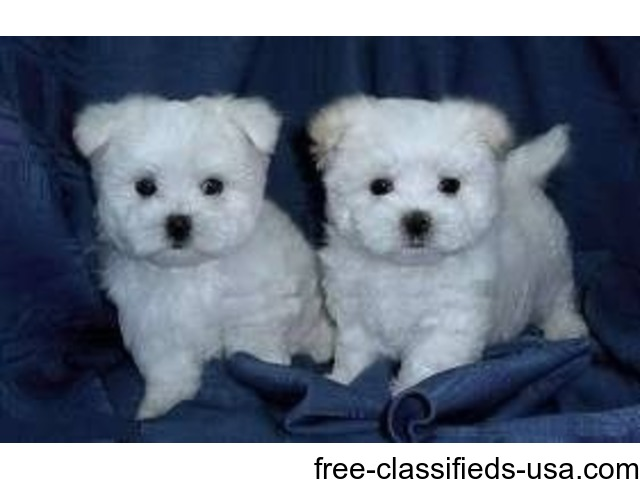 Amazing Teacup Maltese Puppies | free-classifieds-usa.com