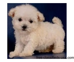 Caring Raised Maltipoo  PuppieS Ready Now.