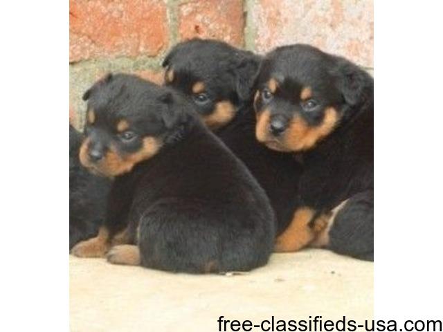 Super Rottweiler Pups Animals Brashear Texas Announcement 50005