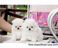 Admirable PomerAniAn Puppies for Good Home!