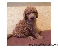 Adorable litter of F1 Mini Goldendoodle Puppies ready