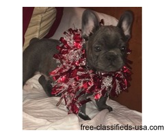 Adorable Akc Blue and Cream French bulldog Puppies ready for new homes