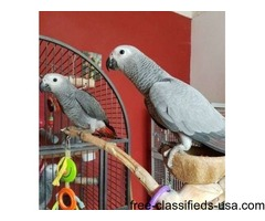 Gorgeous Baby Hand reared Tame African Congo Grey Talking Parrot