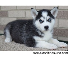Straight up Blue Eyes Siberian Husky Puppies