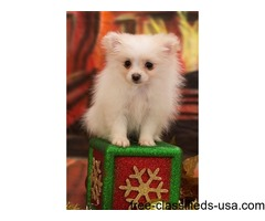 Pomeranian Puppies ready to go,