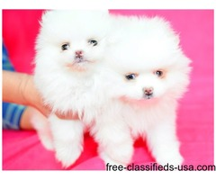 Pomeranian Puppies ready