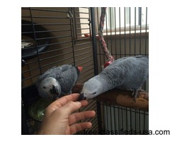 Talkative Pair African Grey Parrots