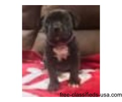 Diplomatic Bully Kennels XL Bullies 5 weeks old