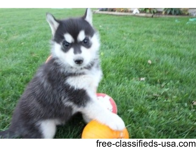 Adorable Outstanding Siberian Husky Pups Animals Appleton
