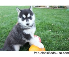 Adorable outstanding Siberian husky pups