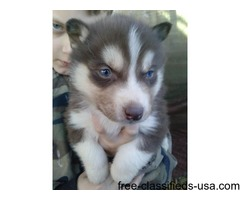 MALE SIBERIAN HUSKY FO SALE