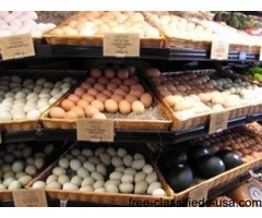 Fertile Parrot Eggs, Macaws, African Grey, Eclectus, Amazon ETC Birds For Sale