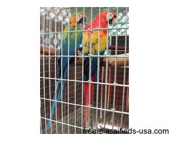 BEAUTIFUL CAMELOT MACAW BIRDS FOR ADOPTION