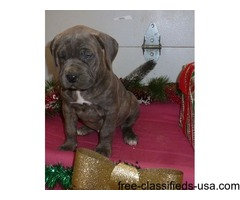 Quality Cane Corso Puppies For Sale